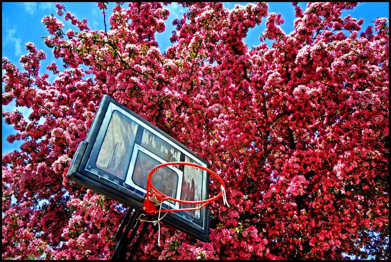 Hoop vs Blossoms.jpg
