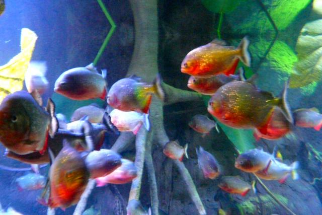 Piranhas, Ripley's Aquarium of Canada, Toronto