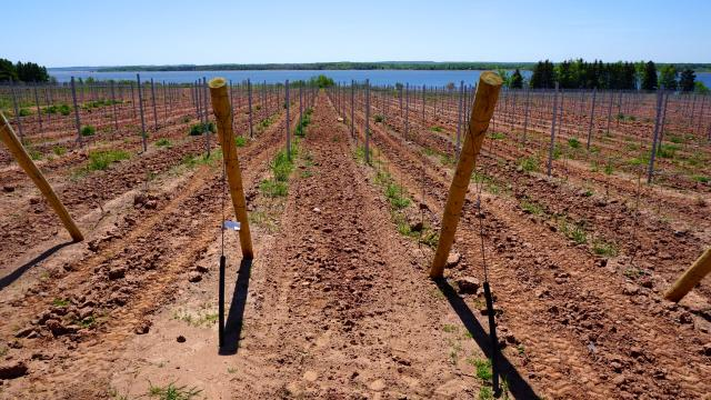 A new vineyard on the south-facing slopes by Fox Harbour, Nova Scotia